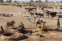 Collecting water for cattle. Farmers leading cattle (Bos taurus) to traditional drinking troughs. In order to collect water for feeding the cattle, wa...
