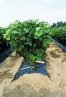 Grape vines planted in polythene to promote growth in a vineyard nursery. Photographed in St Emilion, Gironde, France.