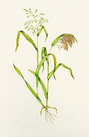 Proso millet (Panicum miliaceum). Watercolour artwork illustrating stages of growth of proso millet. The stem at left is topped by spikelets of flower...