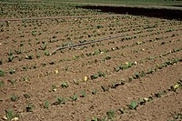 Tobacco crop irrigation. Water pipe in a field of tobacco plants (Nicotiana tabacum). This plant contains the drug nicotine and is used to produce cig...