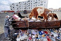Rubbish tip. Man emptying rubbish into a rusting rubbish container. Two cows are feeding on the food debris in the rubbish tip. Photographed in Ulaanb...