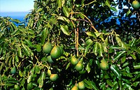 Close_up of avocado tree, La Palma, Canary Islands, Spain