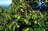 Close_up of avocado tree, La Palma, Canary Islands, Spain