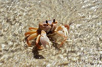 Ghost crab (Ocypode quadrata) in shallow waters on the Madagascar coast. The crab inhabits sandy beaches and excavates burrows in which it lives. It i...