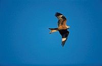 Red kite (Milvus milvus) in flight.