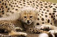 Cheetah cub (Acinonyx jubatus). Cheetah cubs are weaned after only six weeks, when they accompany their parents to kills rather than being brought foo...