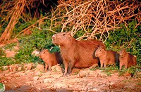 Capybara (Hydrochaeris hydrochaeris) mother with cubs. River bank, Piquirri river. Pantanal near Porto Joffre. Mato Grosso. Brazil