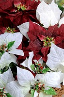 Poinsettia plant pattern