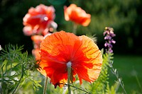 Poppies in field,