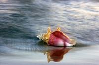 Beach conch shell