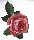 Close_up of pink rose