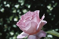 Pink rose, close-up