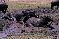 African elephants (Loxodonta africana) playing in mud bath, Kenya