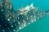 Remora, Remora remora, hitching a ride on a 35ft Whale Shark, Remoras are about 2 to 3 ft long, Sea of Cortez, Mexico