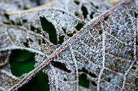 Leaf in decay (with hoarfrost)