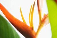 Absttract close-up view of Heliconia