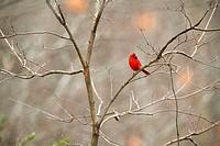 Cardinal, Cardinalis cardinalis.