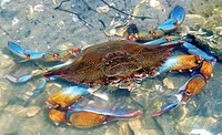 Adult male blue crab (Callinectes sapidus), also known as beautiful swimmer, in shallow waters in northern Florida.