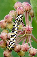 Monarch butterfly (Danaus plexippus) caterpillar feeding on milkweed flower. Lively, ON, Canada