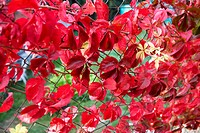 Parthenocissus