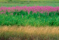 Large colony of flowering fireweed, with grasses. Sudbury. Ontario. Canada