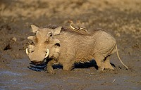 Warthog, Phacochoerus aethiopicus, with oxpeckers, Kruger National Park, South Africa