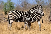 Burchell's Zebra, Equus burchelli, mother suckling foal, Kruger National Park, South Africa