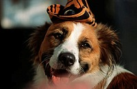 USA, dog with cap
