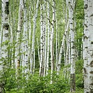 Birch trees (Betula sp.), summer