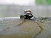 White-lipped Snail (Cepaea hortensis). The white-lipped banded snail has a glossy, smooth shell, which is typically yellow in colour but may be pink, ...