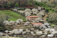 Cherry trees in full blossom. Jerte Valley, Cáceres province, Extremadura, Spain