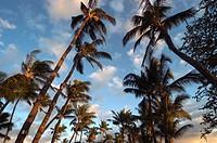 Sunset palms. Hawaii, USA