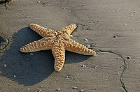 Sea star laying on the beach