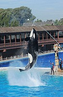 Killer wale jumping out of water to performance is show, San Diego SeaWorld