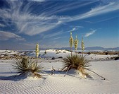 Yuccas White Sands National Monument New Mexico USA