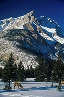 Two elk in front of a snowcapped mountain, Banff National Park, Alberta, Canada