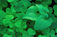Oxalis Lily of the Valley