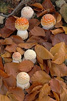 Fly agaric (Amanita muscaria) in beechwood in fall. Montseny Natural Park, Barcelona province, Catalonia, Spain