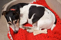 Jack russell fox terrier on a red red blanket looking bored