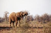 African elephant (Loxodonta africana). Etosha National Park. Namibia