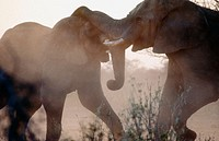 African elephants (Loxodonta africana) fighting. Etosha National Park. Namibia
