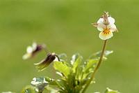 Heartease, wild pansy, herb, medicinal plant, spice, Viola tricolor