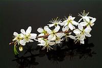 Sloe, blackthorn, herb, medicinal plant, spice, Prunus spinosa.