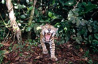 A jaguar (Felis onca) roaring in the forest. Captive. Belize