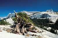 Trees on a mountain, Yosemite National Park, Mariposa County, California, USA