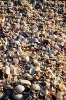 Seashells on Sanibel Island, Florida
