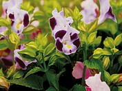 Torenia flower