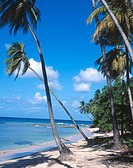 Palm trees on Gibbs beach. Mullins Bay. Barbados. West Indies