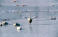 Trumpeter swans (Cygnus buccinator). Columbia glacier. Chugach mountains. Alaska. USA