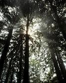 USA, California, Marin County, Mount Tamalpais, Low angle view of trees
